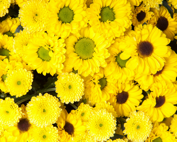Flower spotlight chrysanthemums blogs conroys flowers encino here at conroys flowers encino in encino ca we see and use a lot of very beautiful flowers and want to tell you about one of our favorites mightylinksfo